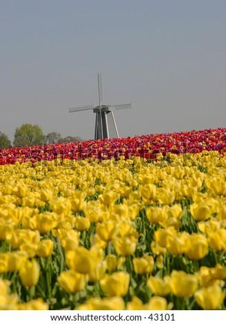 Molino de tulipán