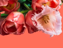 tulip on trendy coral color of 2019 Minimal styled concept greeting card.