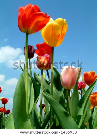 tulip petals in the sky