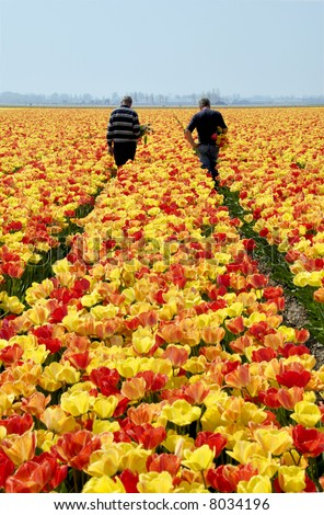 Tulip pickers at work in a field in Holland