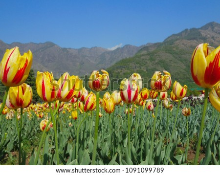 Tulip Sri Nagar Kashmir Organized in April Tulips in Kashmir have a wide variety of varieties of about 60 species.  Discover the tulip mating to be different  colors from the existing. #1091099789