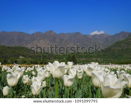 Tulip Sri Nagar Kashmir Organized in April Tulips in Kashmir have a wide variety of varieties of about 60 species.  Discover the tulip mating to be different  colors from the existing. #1091099795
