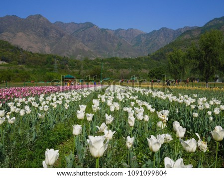 Tulip Sri Nagar Kashmir Organized in April Tulips in Kashmir have a wide variety of varieties of about 60 species.  Discover the tulip mating to be different  colors from the existing. #1091099804