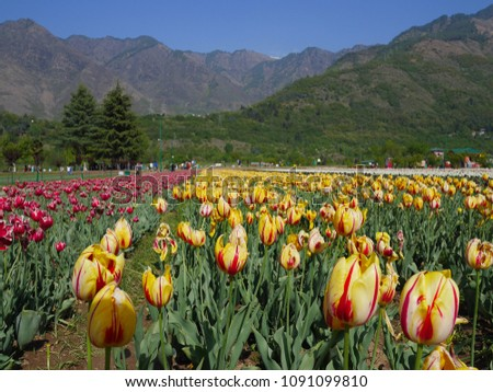 Tulip Sri Nagar Kashmir Organized in April Tulips in Kashmir have a wide variety of varieties of about 60 species.  Discover the tulip mating to be different  colors from the existing. #1091099810