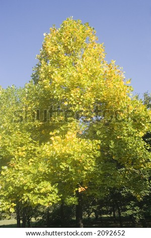 tulip tree - native to eastern north america - in autumn colors