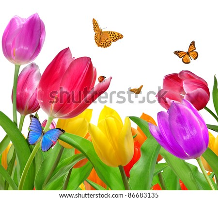 Tulip with butterfly isolated