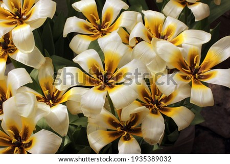 Tulipa Concerto. spring flowers. Tulips flowers.tulips garden spring nature. Tulipa fosteriana Concerto. close-up tulips variety Concerto in garden.beautiful large white tulips background. Foto d'archivio ©