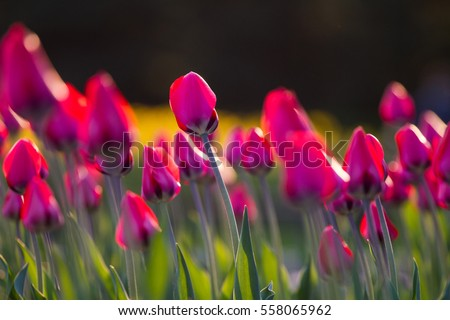 tulips #558065962