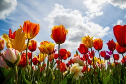 Tulips and clouds in Skagit Valley in the Pacific Northwest