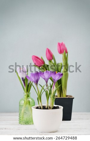 Tulips And Crocus In Vases On Blue Background Ez Canvas