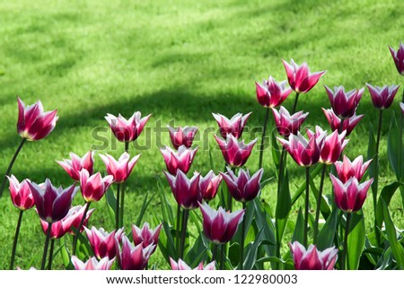 Tulips and green lawn in the park