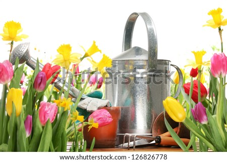 tulips and watering can on white background