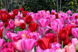 Tulips at the Dallas Arboretum March 25, 2021