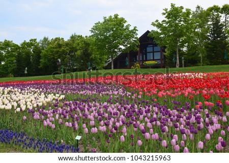 Stock Photo Tulips blooming in Takino suzuran hillside park. Sapporo Hokkaido Japan.