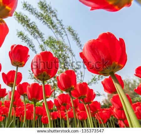 Tulips field from below
