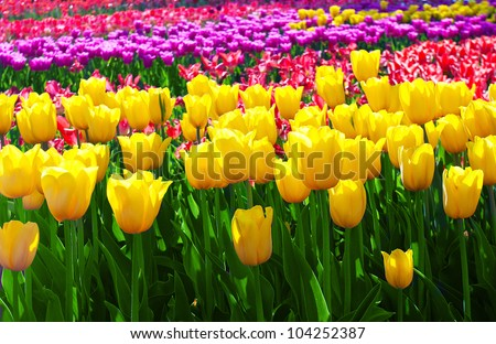 Tulips field yellow flower background.
