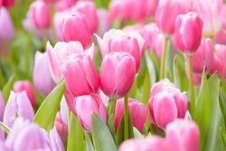 Tulips flower beautiful in garden plant