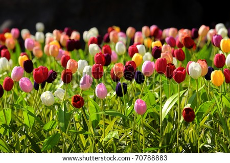 Tulips flower colorful