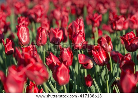 Tulips flowerbed, field of beautiful pink tulips in spring, city decoration
