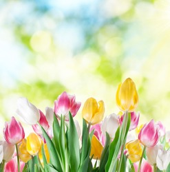 Tulips flowers on a blur background of nature. Spring background.