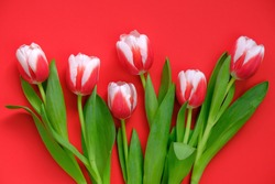 tulips flowers.red-white tulips on a bright red background.spring flowers background.Flower card. Blank postcard.copy space. International Women's Day, Mother's Day.