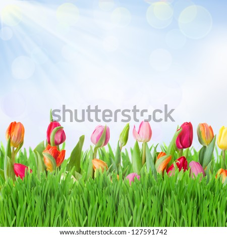 tulips garden with grass on blue sky background
