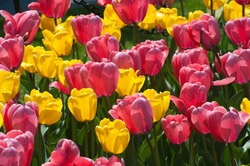 Tulips glow during the annual Tulip Festival in Washington Park, Albany, New York