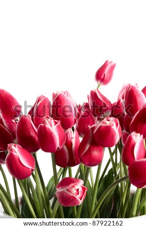 Tulips in a bucket on a white background