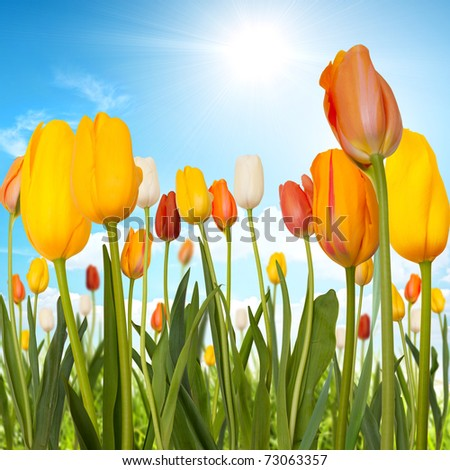 Tulips in a green field