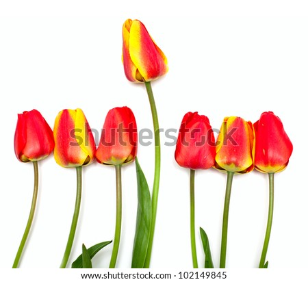tulips in a row and one outstanding