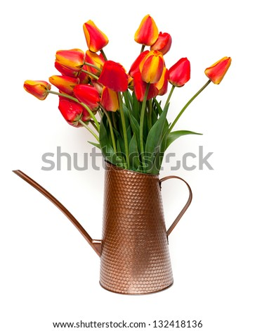 tulips in a watering can isolated on white background