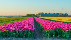 Tulips in an agricultural field in sunlight at sunrise in spring