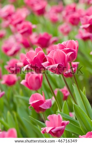 Tulips in flower garden with pink and green color.