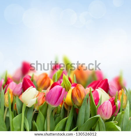 tulips in garden on blue sky background