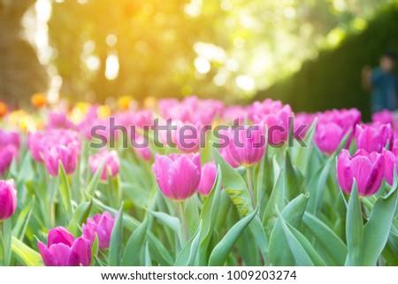 tulips in spring #1009203274