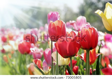tulips in spring sun - stock photo
