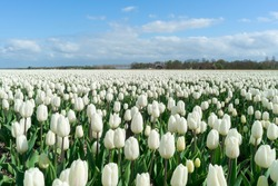 Tulips in spring sun at a field in the Netherlands