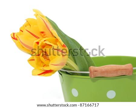 Tulips in the bucket