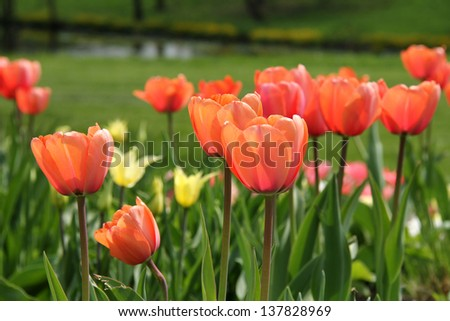 tulips in the flowerbed