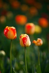 Tulips in the garden. Tulips in the spring.