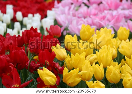 Tulips in the Netherlands (Holland). Tulips from Amsterdam concept.