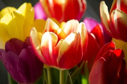 Tulips in the sunlight.