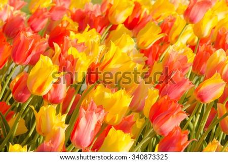 Tulips in Washington Park, Albany, NY Stock fotó ©