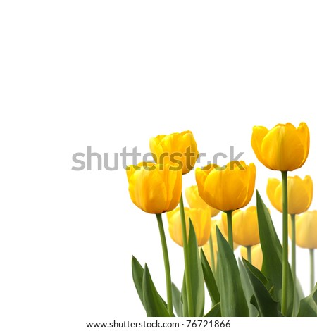 Tulips isolated on white background,many tulips, yellow tulip - stock photo