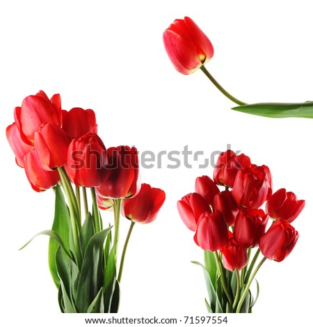 Tulips isolated on white. Summer flower
