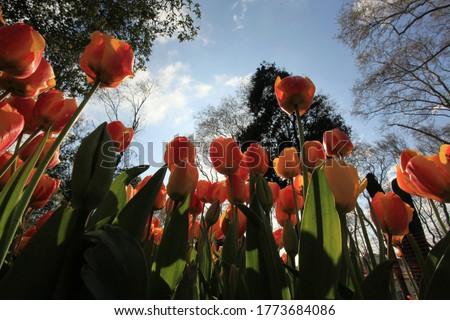 tulips macro shot in spring parks