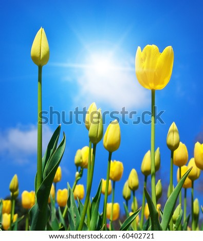 Tulips on sky background. Nature composition.