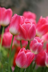 Tulips pink. A pair of pink tulips in a gentle embrace.  A spring blurring background with bright tulips vertically . Macro. Tulipa. Liliaceae Family.  Copy space