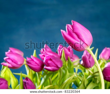 tulips pink flowers in blue studio background