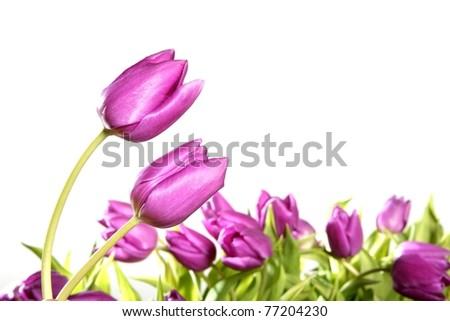 tulips pink flowers isolated on white background studio shot
